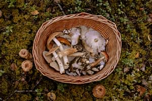 Mushroom Foraging Walks Hay on Wye wales
